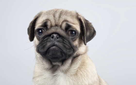 мопс, собака, взгляд, portrait, красивые, микс, обойный,