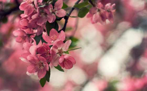 cvety, макро, лепестки, дерево, цветущее, природа, широкоформатные, листва, боке,
