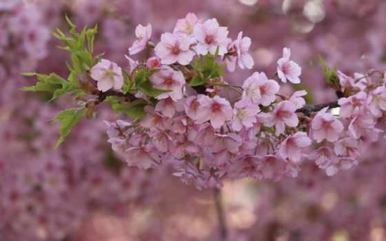весна, cherry, цветы, розовый, rosa, ветви, flowers, лепестки,