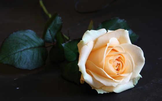 бутон, роза