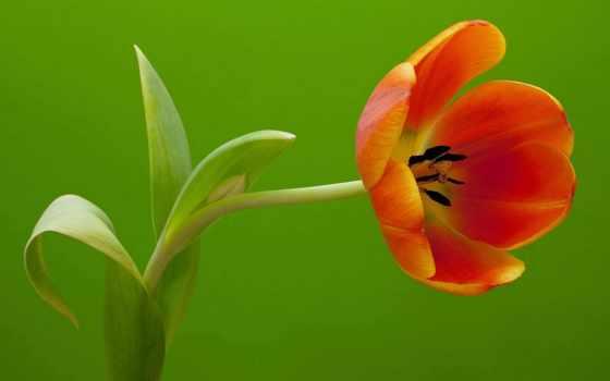 тюльпан, цветочная, стебель