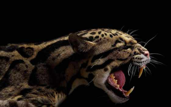 vincent, musi, cats, большие, martha, тигров, lion,