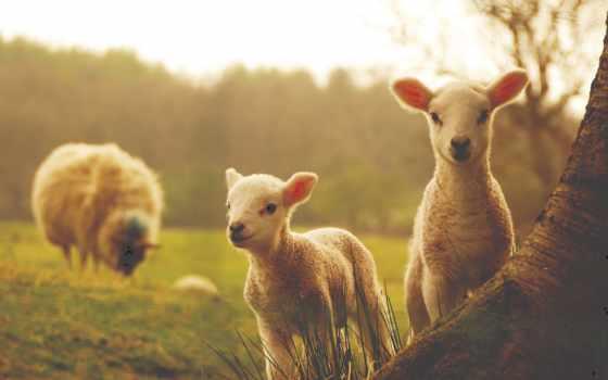 sheep, овцы, ягнята, дерево, молодой, ламб, качества, высокого,