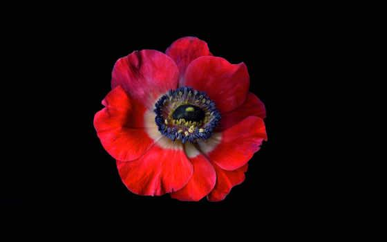 маки, красные, поле, зеленом, индиго, коллекция, flowers, фото, magda, anemone,