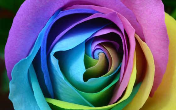 роза, colorful, cvety, радуга, flowers, desktop,