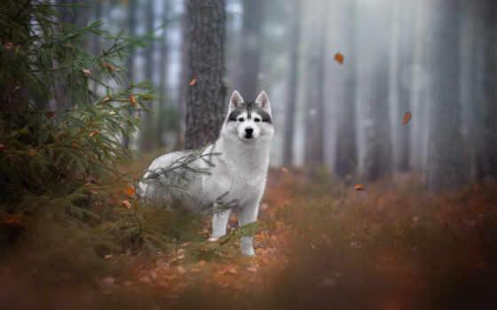 хаски, лес, fore, fir, дерево, landscape, hund, winter, собака, bild