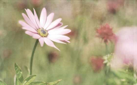 цветы, розовый, высоком