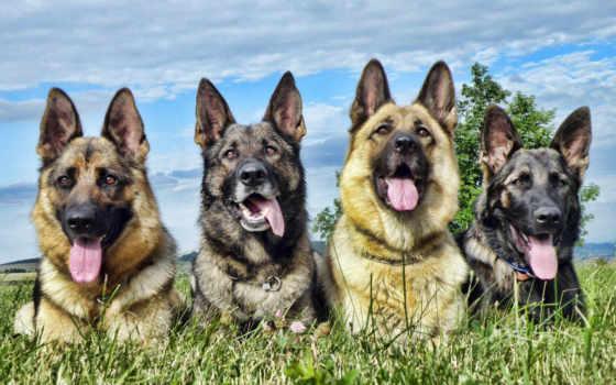 собаки, снег, овчарка, german, овчарки, немецкая, winter,
