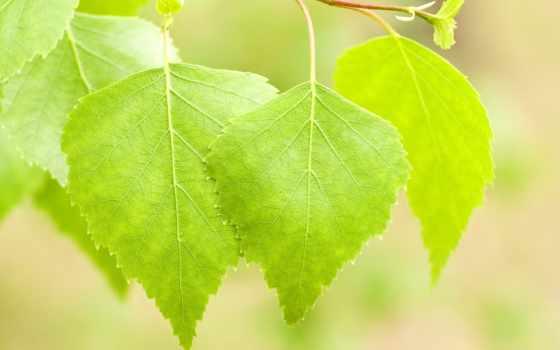 листва, devushki, макро, береза, весна, яркий, branch, свет, summer,