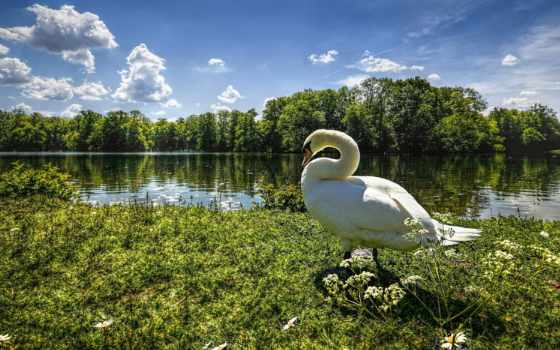 goose, птицы, summer