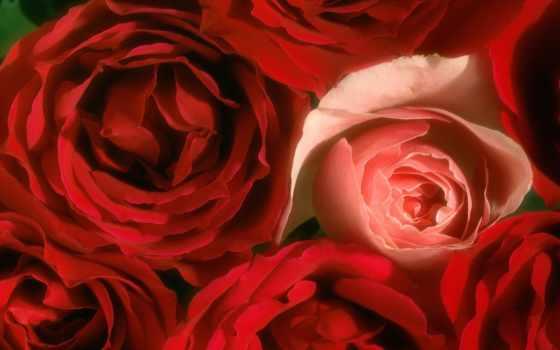 розы, cvety, красные