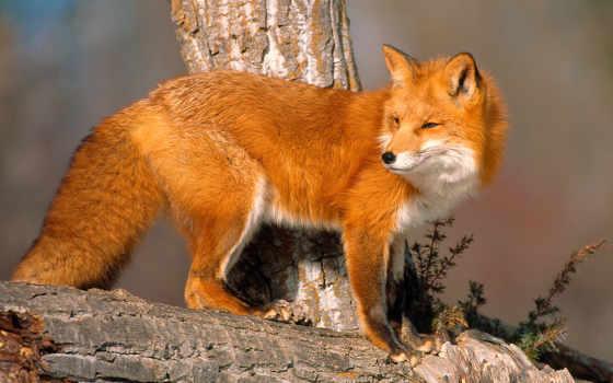 фокс, рыжая, лисы, картинка, zhivotnye, стоит, бревне,