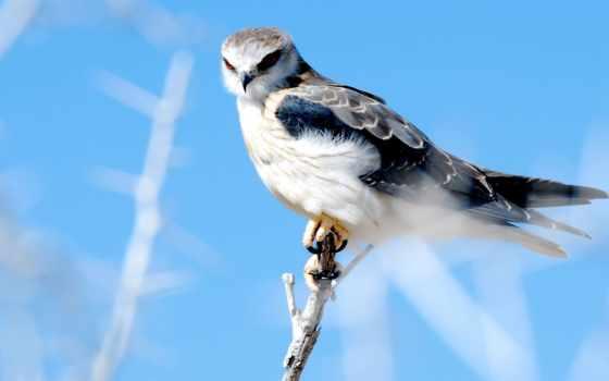 небо, взгляд, серый, сокол,, хищник, птица, zhivotnye, крылья, перепелятник,