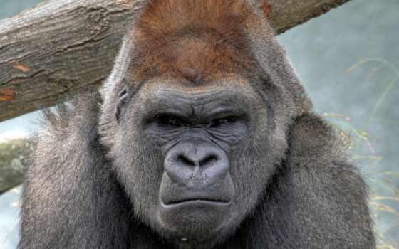 обезьяны, обезьяна, zhivotnye, горилла, animal, коллекция, загружено, уже,