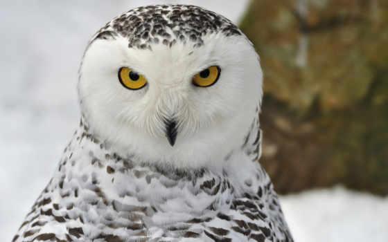 сова, птица, stock, winter, полярная, snowy, photos, снег, купить,