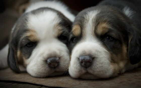 собака, щенок, биг, картинка, колекция, крутой, накачать