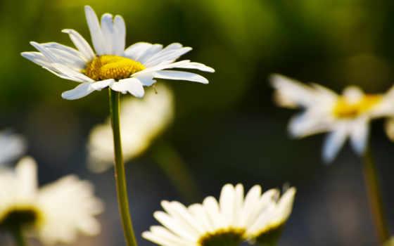 цветы, ромашки, высоком