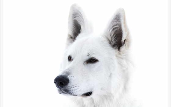 белая, овчарка, swiss, white, собака, морда, собак, животных, взгляд,