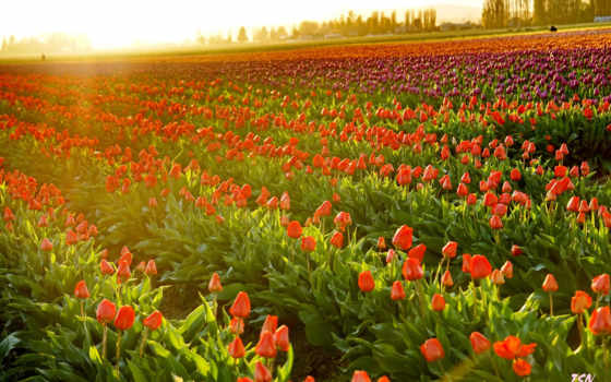 downloads, tulips,