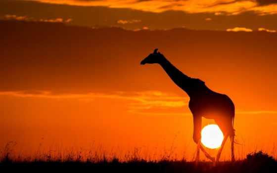 жираф, африка, закат