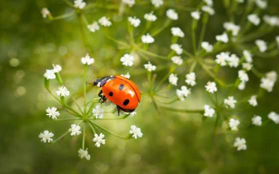 коровка, божья, коровки, божьи, ladybug, макро, zoom,
