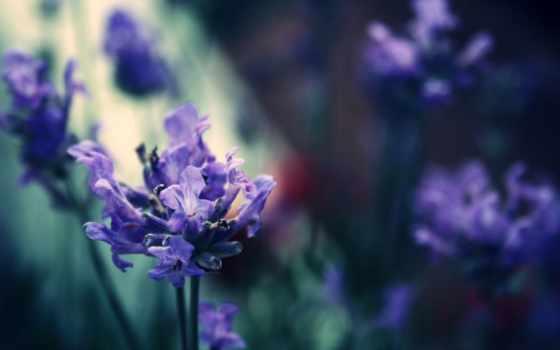 ecran, планом, сиреневый, крупным, cvety, фиолетовые,