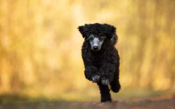 собака, pudel, kartinika, бесплатный, bezhat, пудель, чёрный, животное, собака, standard, priroda