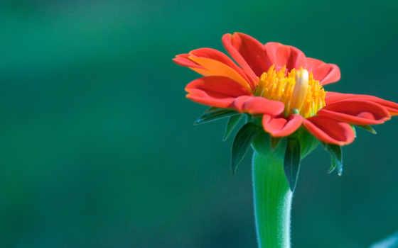 цветок, wallpaper