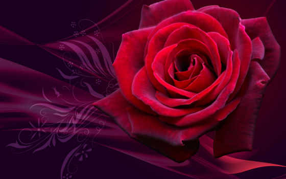розы, бутон