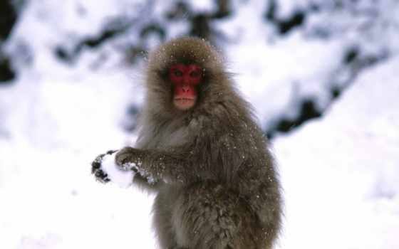 game, снежки, zhivotnye, модульная, обезьяна, картинка, обезьяны, картины, модулей,