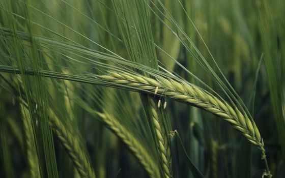природа, колоски, макро, колосок, колосья, широкоформатные, трава, поле, зелёный, oboi,