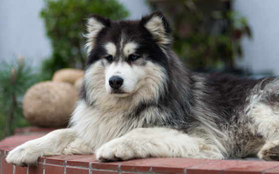 хаски, alaskan, malamute, parent, name, directory, description, последний, modified,