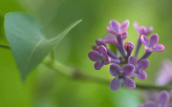 весна, сиреневый, макро, cvety, branch, красивые,