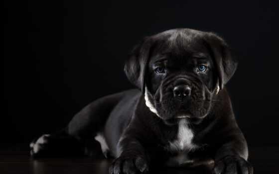 черная, animal, black, niebieskie, собака, kan, cane, щенок, psy, corso, tapety