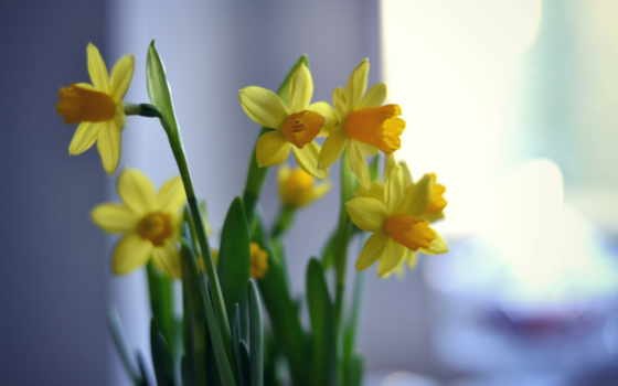 flowers, narcissus, background