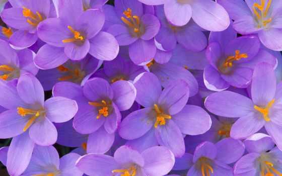 цветов, цветы, name, кб, являются, цветка, крокусы, под, liveinternet,