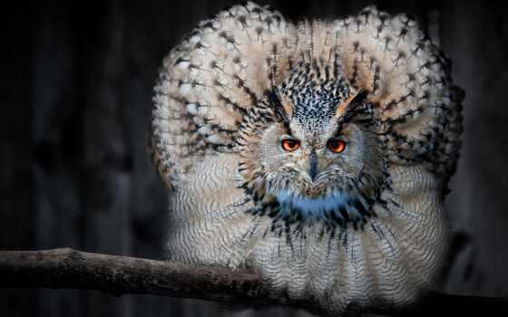 сова, филин, птица, перья, взгляд, zhivotnye, лес,