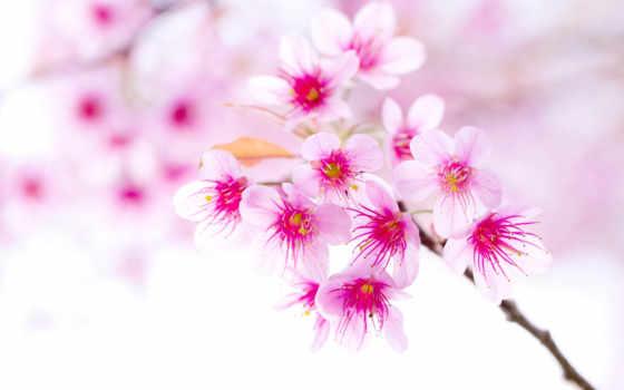 весна, cherry, branch, цветущая, cvety, Сакура, широкоформатные, яблоня, ноутбук, телефон, верба,