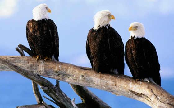 птица, хищная, лысый, eagles, орлан, величественная, птицы, case, интерпретация,