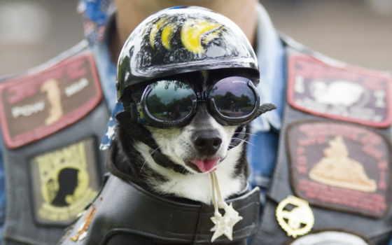 собака, очки, собаки, шлем, морда, шлеме, ткань, костюме, защитном, байкера, за,