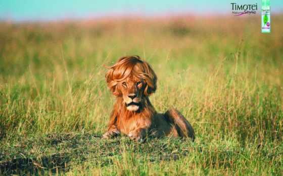 leão, животных, смотреть