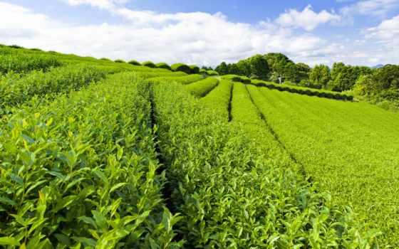 чайная, плантация