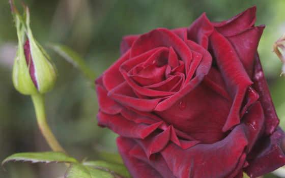 розы, красные, цветущая