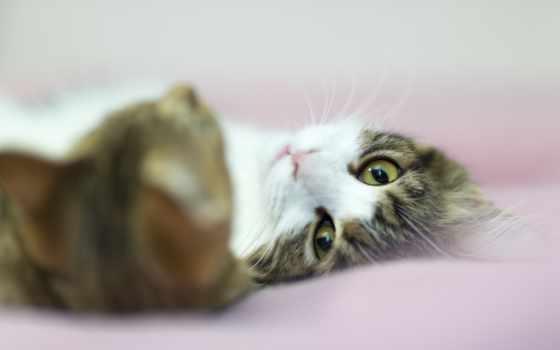 кошки, кот, страница, взгляд, zhivotnye, картинка, серая, бело, белая, смотрит,