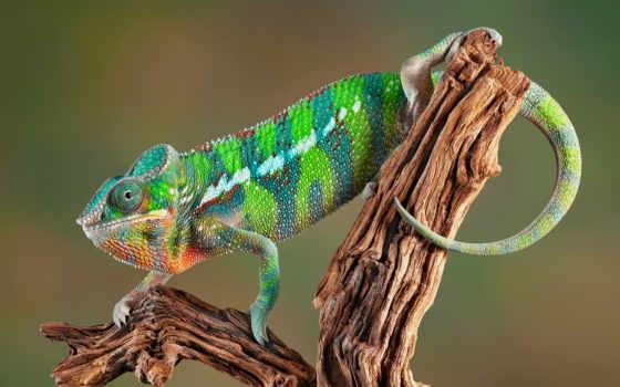 chameleon, chameleons, офис, stock, free, more,