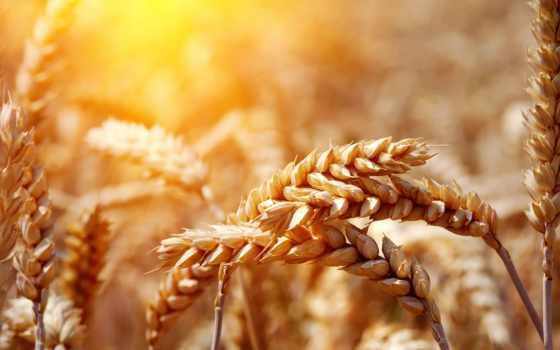 зерно, казах, пшеницы, сша, котировки, news, пшеница, франции,