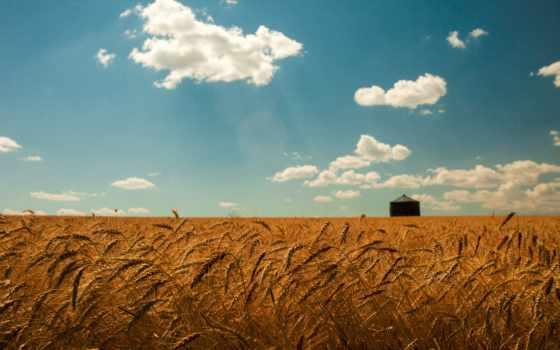 пшеница, поле, небо, oblaka, summer, природа, колоски,