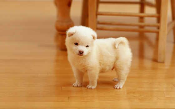 щенок, акита, white, pinterest, healthy, ламинат, пушистый, щенки,