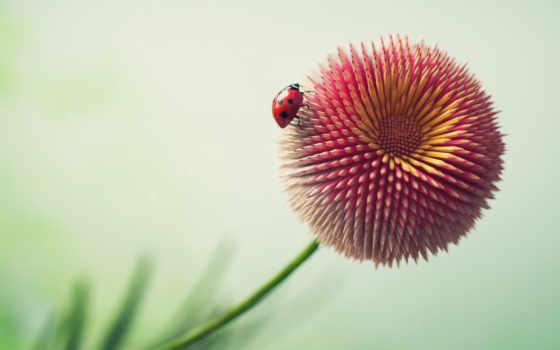цветы, ladybug, pencil, mobile, desktop, resolutions, high,