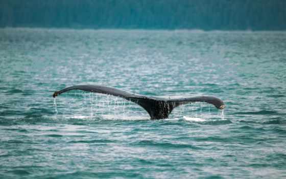кит, tail, water, black, тело, во, дневной, steve, halama, free,